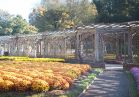 Mums in the Walled Garden