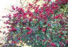Winterberry holly in the Azalea Garden