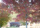 Maple near Antler Hill