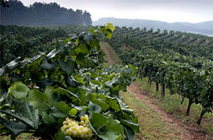 A view of Biltmore's vineyards with grapes on vines