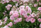 Rural England Rambler rose in the Rose Garden