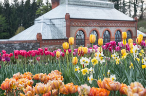 tulips and daffodils in the walled garden