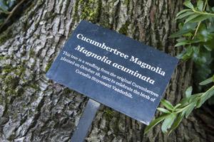 Plaque of Second Generation Cucumbertree Magnolia
