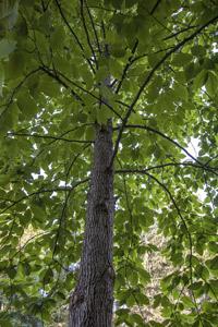 Second Generation Cucumbertree Magnolia