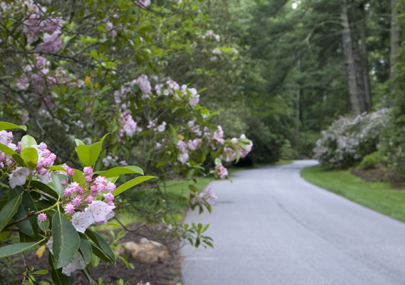 Approach Road with mountain laurel