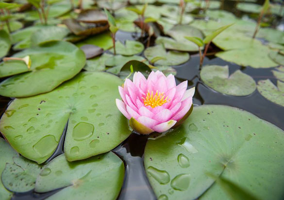 Water lily blooming in the Italian Garden pools at Biltmore