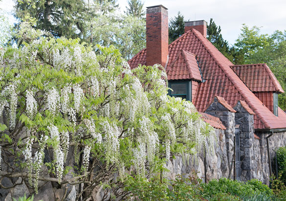 White wisteria near the Gardener's Cottage in Biltmore's Walled Garden