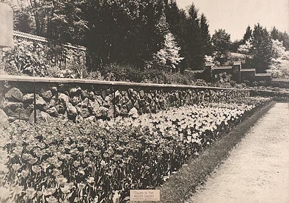 Tulips in the Walled Garden, circa 1930