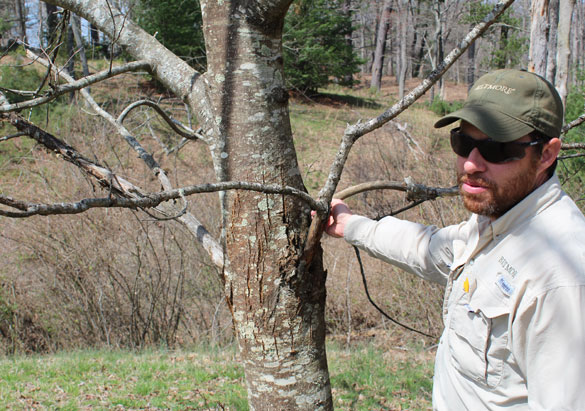 Jason Mull points out one of three original hybrid chestnut trees at Biltmore
