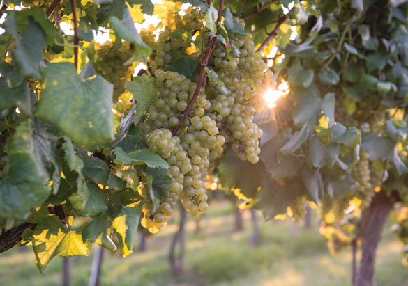 Clusters of white grapes ripening in Biltmore's vineyard