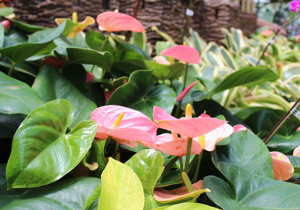 Pink anthurium in the Conservatory