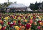 Tulips conservatory6x4