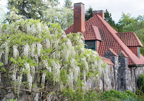 White wisteria in Biltmore's Walled Garden