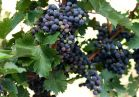 Cabernet Sauvignon grapes are ready for harvesting.