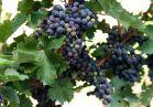Cabernet Sauvignon grapes are ready for harvesting.