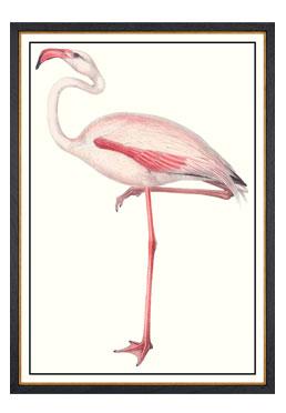 John Gould - Flamingo
