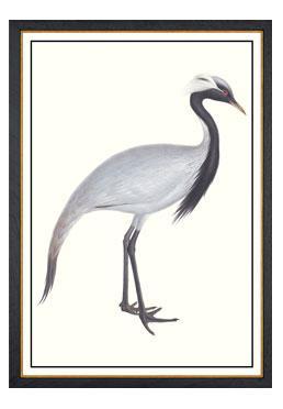 John Gould - Numidian Stork