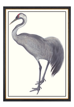 John Gould - Common Crane