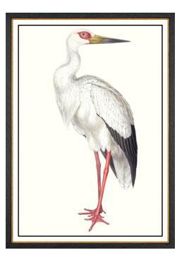 John Gould - Maguari Stork