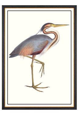 John Gould - Purple Heron