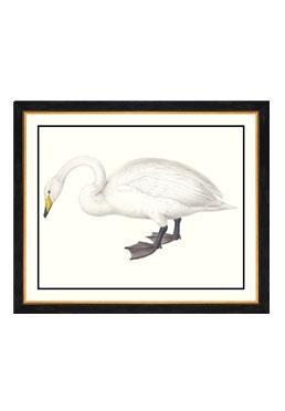 John Gould - Whistling Swan