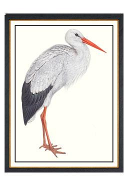 John Gould - White Stork - Available Online