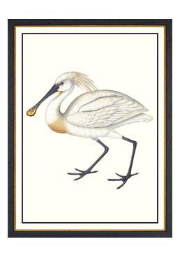John Gould - Spoonbill