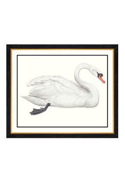 John Gould - Domestic Swan