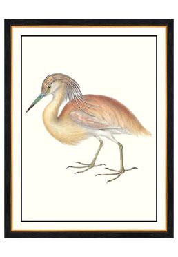 John Gould - Squacco Heron
