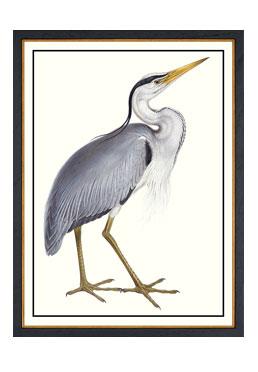 John Gould - Common Heron