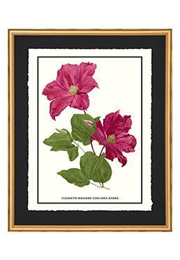 Full Bloom - Clematis Madame