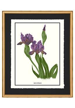Full Bloom - Iris Hybrid