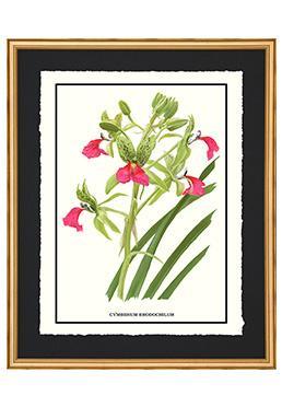 Full Bloom - Cymbidium Rhodochilum
