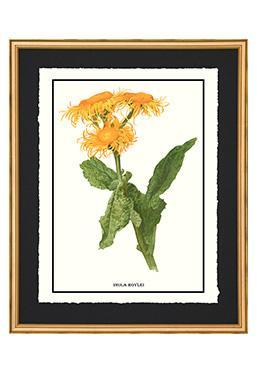 Full Bloom - Inula Roylei
