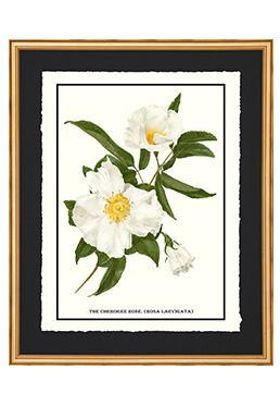 Full Bloom - Cherokee Rose
