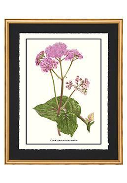 Full Bloom - Eupatorium Lanthinum