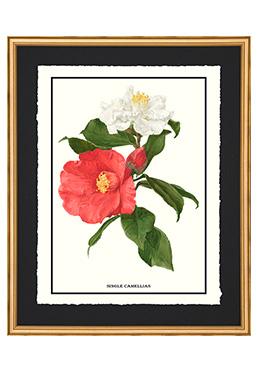 Full Bloom - Single Camellias