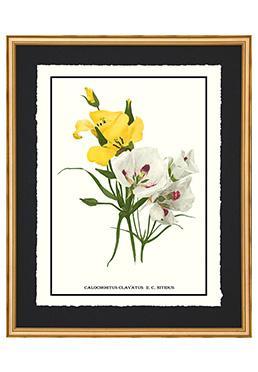 Full Bloom - Calochortus Clavatus