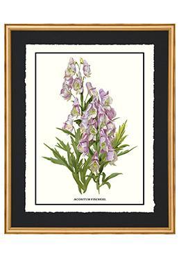 Full Bloom - Aconitum Fischerl